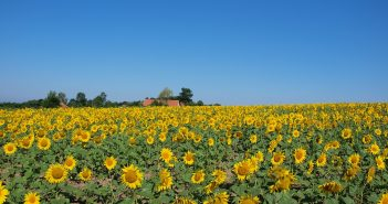 sunflower_fields_in_sumadija