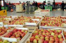 јабука-735x303