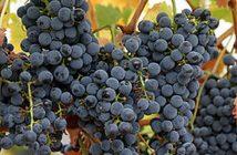 grozdje_080720